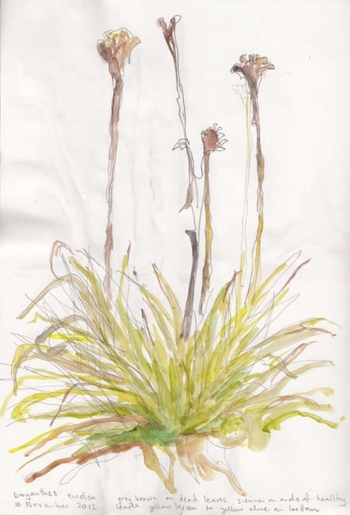 14nov12_doryanthes