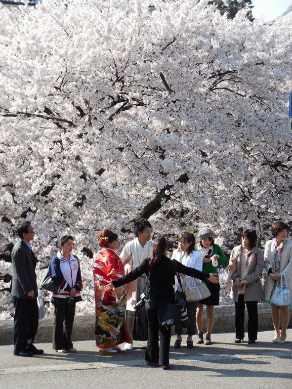 A wedding party under the sakura (cherry blossom) at Kenroku-en garden, Kanazawa, Japan