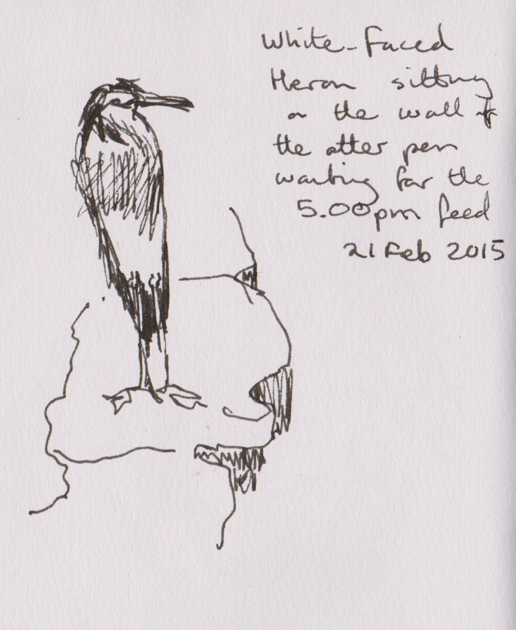 The White-faced heron waiting for otter leftovers, pen and ink 21 February 2015