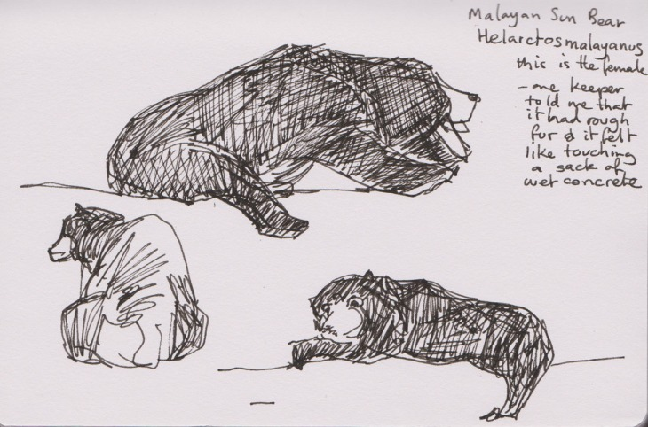 A female Malayan Sun bear, pen and ink, 21 February 2015