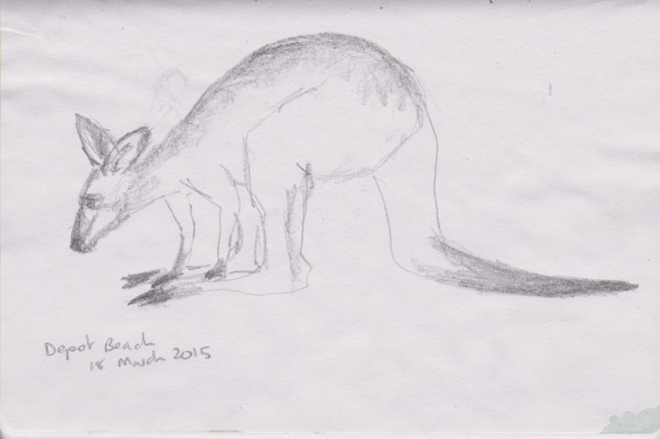 An Eastern Grey kangaroo, graphite, 18 March 2015