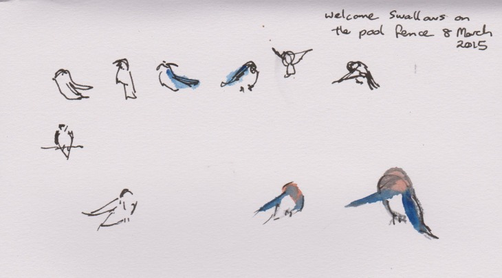 Welcome Swallows preening, pen and ink and watercolour, 8 March 2015