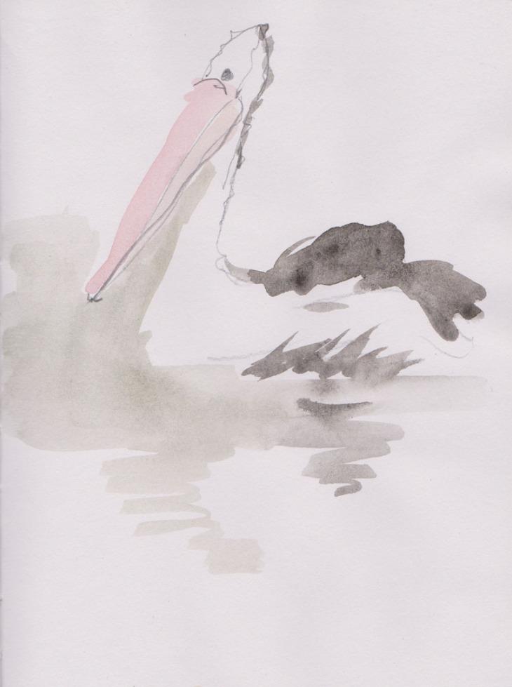 Australian Pelican (Pelecanus conspicillatus, watercolour and graphite pencil, 14 April 2015