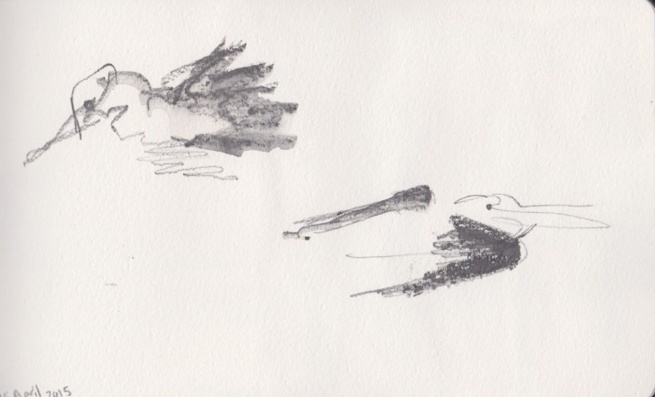 Pelicans, water soluble graphite, 15 April 2015