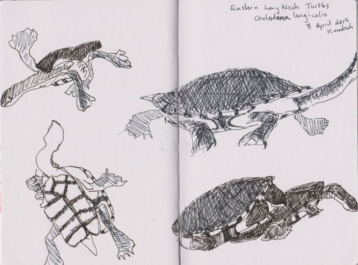 A tank of Eastern Long Neck Turtles, pen and ink and gel pen, 8 April 2015