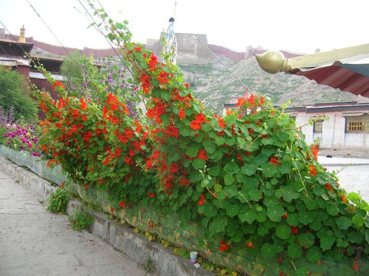 Nasturtiums in Gyantse