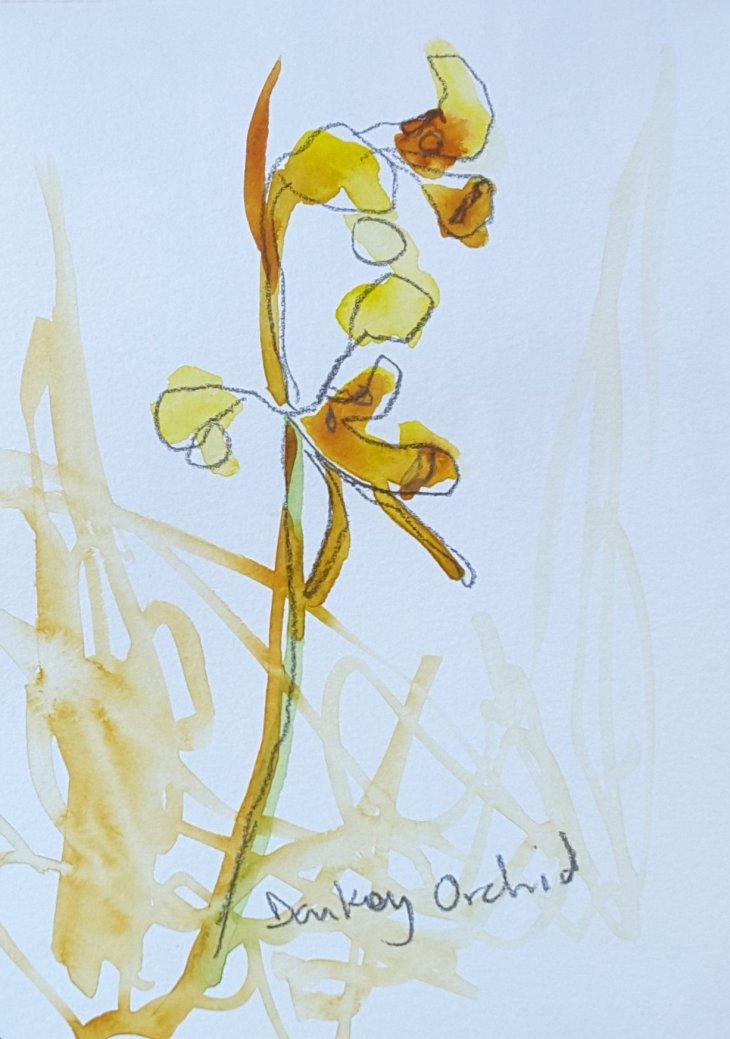 'Tiger' orchid, Diuris sulphurea, Black Mountain ACT